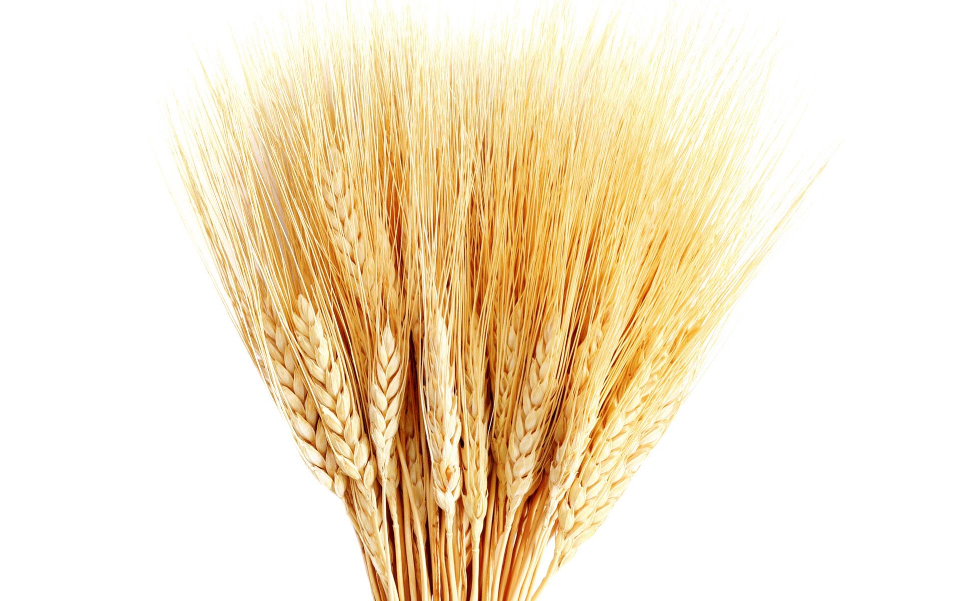8157-hd-wheat-crop-material
