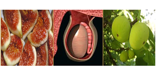 Figs testicules shape
