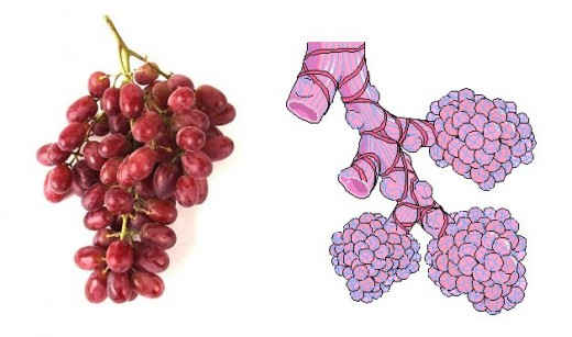 Grapes leukocytes shape