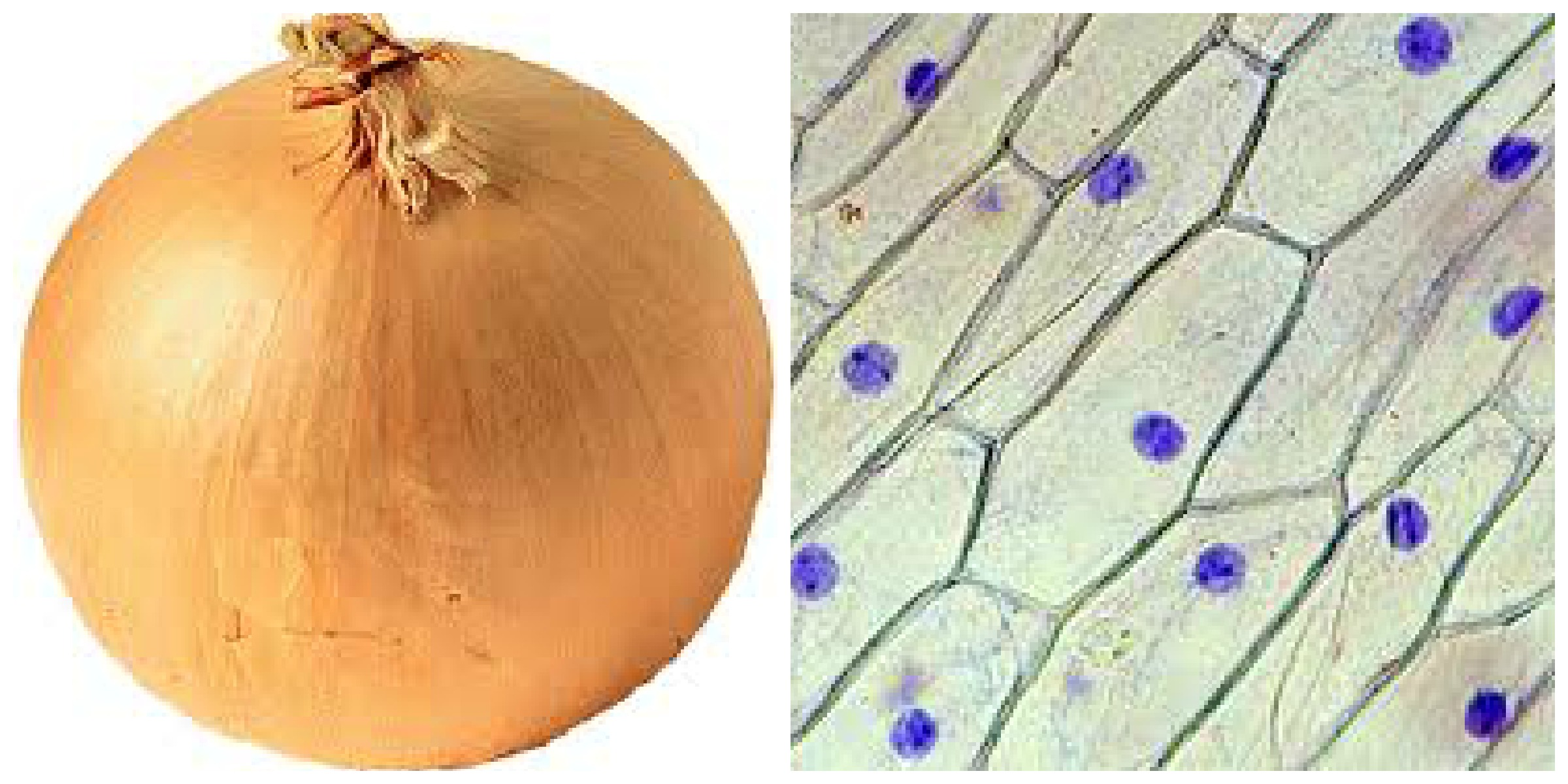Onion cell shape