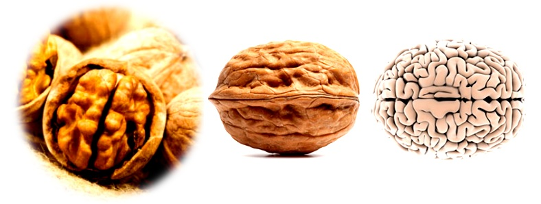 Wallnut brain shape
