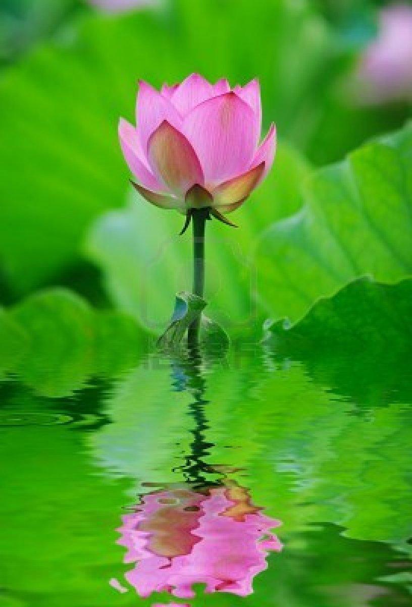 9697707-lotus-flower.jpg